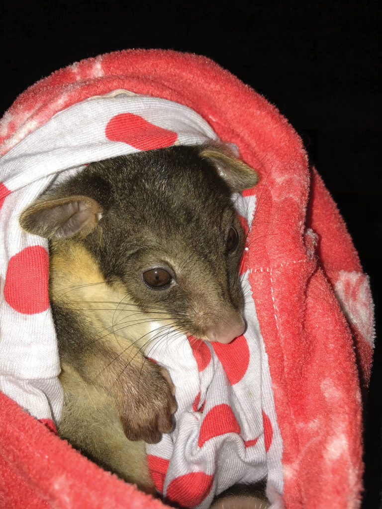 Caring For A Possum