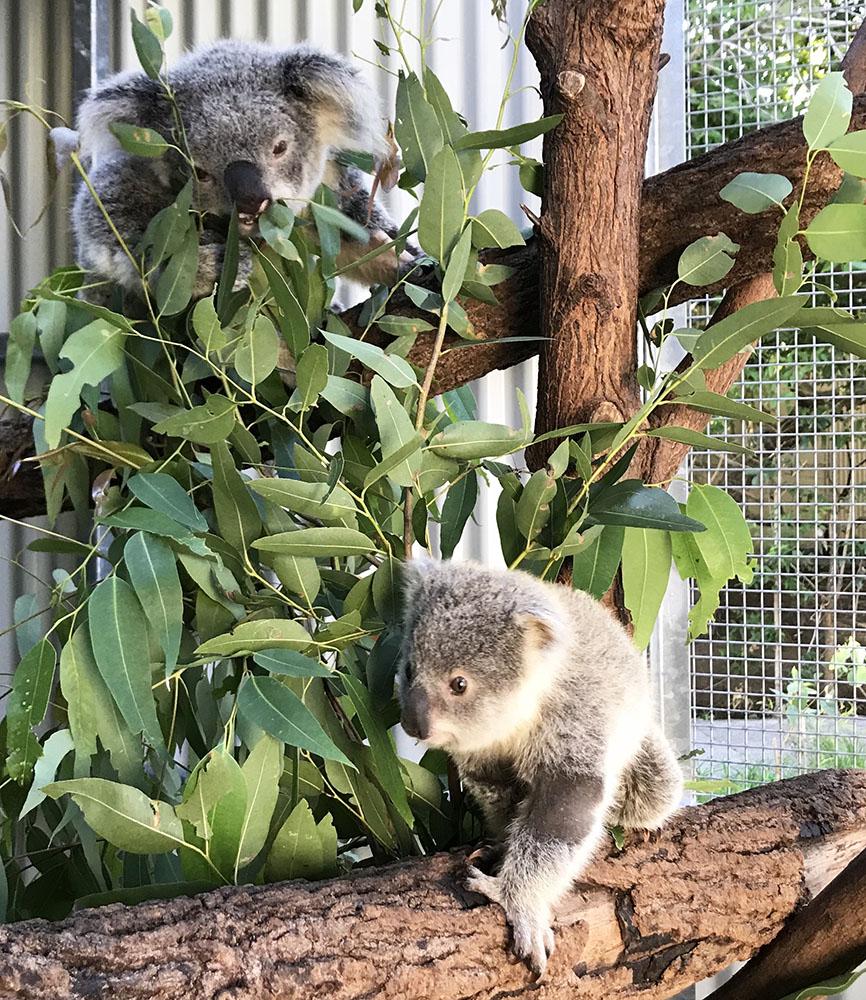 Rescued Koalas
