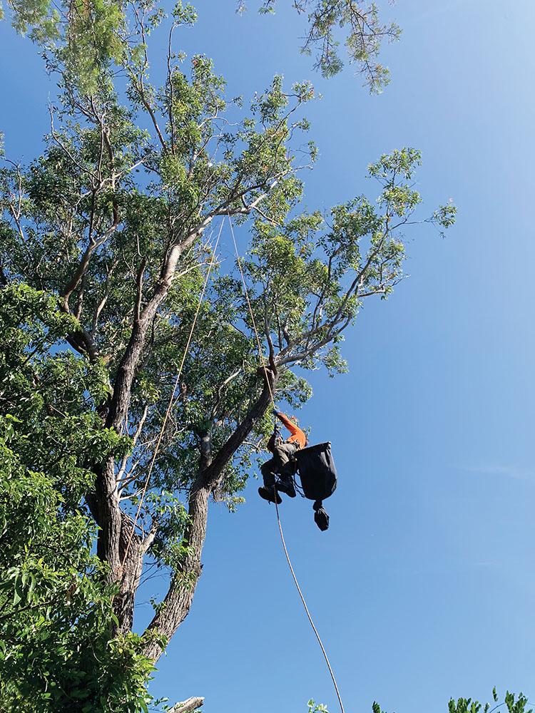 Trav The Tree Climber climbing up to rescue corella